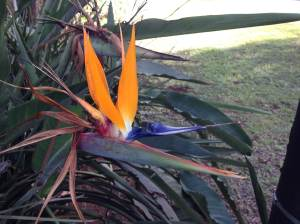 There are Birds of Paradise all over the place...this one I believe is the one outside our door.